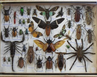 REAL Multiple INSECTS BEETLES Spider Cicada Scorpion Taxidermy Collection in wooden box/big size/is07A