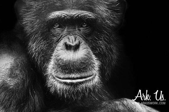 poster portrait d 39 un chimpanz noir et blanc 20x30cm. Black Bedroom Furniture Sets. Home Design Ideas