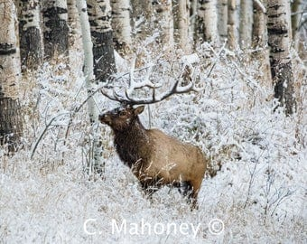Winter Bull Elk Photograph, Wildlife, Photography, Colorado Animals, Print, Photo, Fine Art, Rocky Mountains