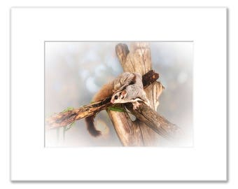 Sally the Sugar Glider, Matted Photo Print (5x7 inches), Sugar Glider, Native Animal Rescue, Western Australia