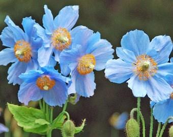 Himalayan Blue Poppy seeds, Meconopsis betonicifolia, poppy seeds, flower seeds