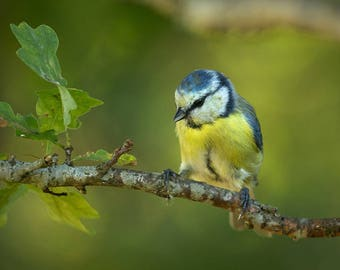 ORIGINAL design, durable and WASHABLE PLACEMAT - birds - blue tit on a branch of oak - classic.