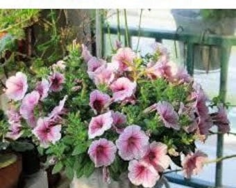 home garden 100 seed petunia seeds mirage multicolor selection