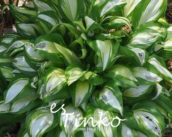 30pcs Hosta Plantaginea Seeds Fragrant Plantain Lily Popular Flower Home Garden Bonsai Plant DIY