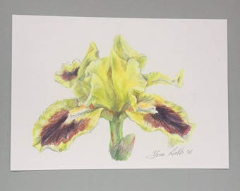 Yellow iris flower drawing colored pencil drawing framed