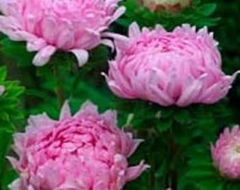 Aster- Paeony Duchess- Coral- 50 Seeds