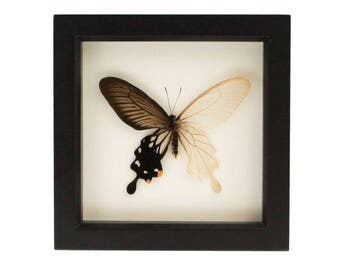 Science Oddity Skeleton Descaled Black Butterfly Display Natural History