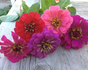 Zinnia Dahlia Giants Custom Mix Annuals in Pinks Reds and Purples Rare Heirloom Seeds