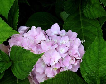 Instant Download Pink Hydrangea Photo Image, Natures Closeup Flower Head Bloom Summer Photography Digital Download,Printable  itsyourcountry