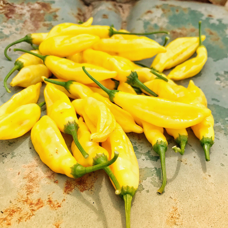 lemon drop pepper aji limon peppers heirloom pepper seeds