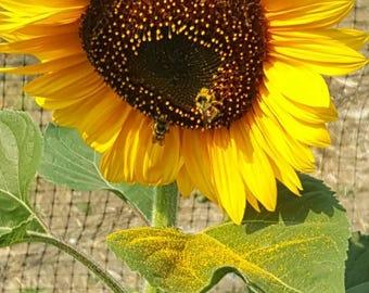 50 Mammoth Jumbo Sunflower Seeds
