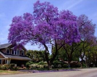 10 Royal Empress Tree Seeds, Paulownia tomentosa