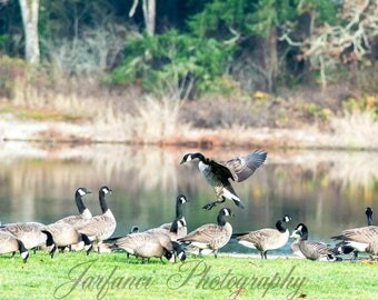 Canadian Geese at the pond