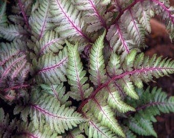 Regal Red Japanese Painted Fern - Live Plant - 3.5 Inch Pot