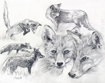 Study of wild animals - Fox in different positions