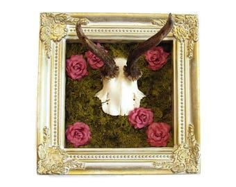 Roe deer antlers, box frame, alternative home decor, framed antlers, mounted antlers, Gothic frame, framed taxidermy,cabinet of curiosities