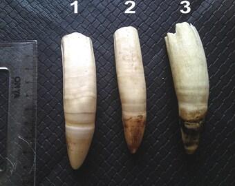 Caïman Big Tooth - Organic - Sustainable - Tribal - Ethnic - Jungle - Animal - Amulet - Boho - Gypsy - Travel - Pacific - Sout America