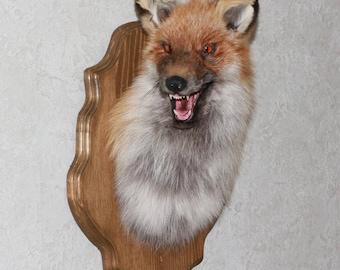 Siberian Red Fox - Taxidermy Head Shoulder Mount, Stuffed Animal For Sale - ST3944