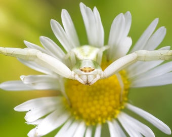 Digital Download: Crab Spider photo