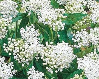 Swamp Milkweed 'Ice Ballet' Seeds/Asclepias Incarnata alba / Butterfly Host Plant