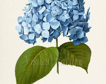 Botanical Print, Botanical Art Print, Bigleaf Hydrangea Flower Art Print, Flower Wall Art, Flower Print, Floral Print, blue flower art print