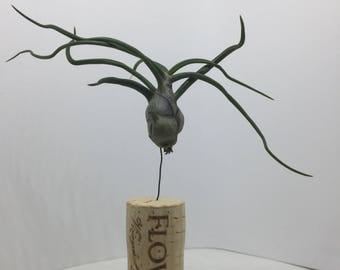 Floating Air Plant on cork