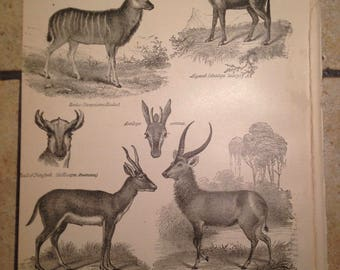 1890 Antelope Antique Illustrations