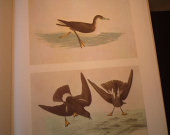 Shearwater and Petral - Audubon Color Print from original 1830s painting - beautiful birds - gift for birders - nature lovers