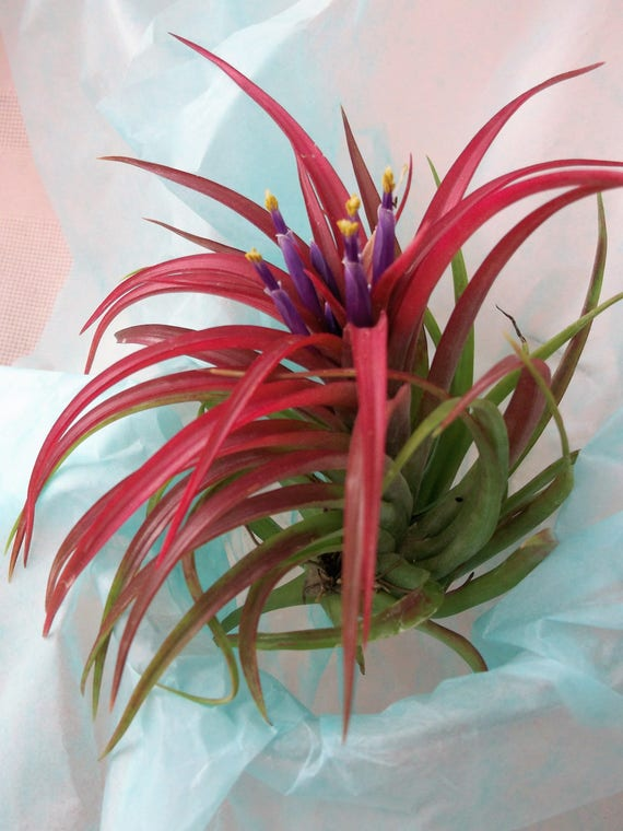 Tillandsia Airplant Brachycaulos Select in bloom and bud