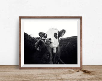 Cow Photography in Black and White   Farmhouse Wall Art