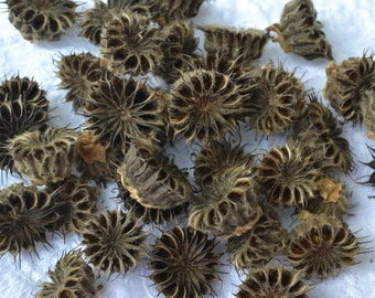 Dried Nigella Seed Pod, Love in the Mist, Velvet Leaf Seed Pod Lot (apx 1 inch) | 38 Pods