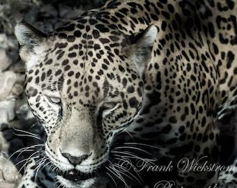 On The Prowl / Jaguar Photography / Sepia Animal Print / Sepia Jaguar Photography / Zoo Animal Photo