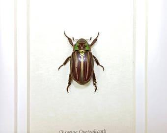 FREE SHIPPING Real Framed Chrysina Quetzalcoatli Jewel Scarab Beetle Taxidermy A1 #103
