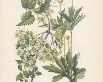 Virgin's Bower, Canada Anemone Wild Flower Vintage Botanical Art Print 1954 Edith Farmington Johnston