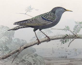 1840 c. Adams - STARLING Bird - Antique Engraving Print. Ornithology. Zoology. Natural History.