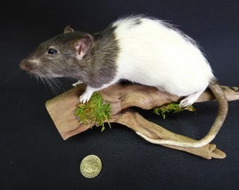 TAXIDERMY Grey And White Rat (no.25) on driftwood mount. Rodent. Wood is 23 cm long.