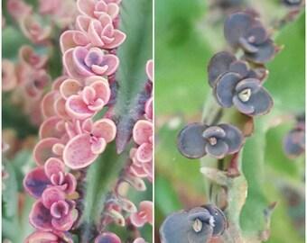 40+ Babies Succulent Propagation Leaves Kalanchoe Daigremontiana Pink Butterflies/Mother of Thousands