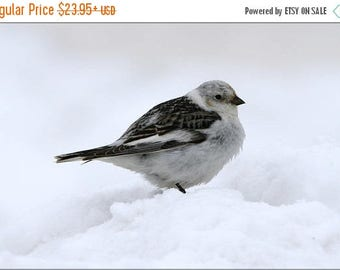 40% OFF SALE Poster, Many Sizes Available; Snow Bunting Bird