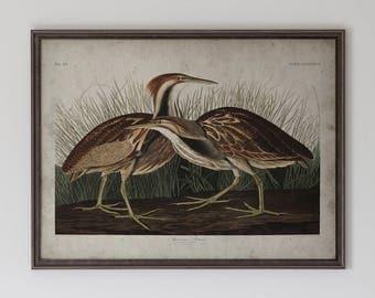 American Bittern: John James Audubon, Birds of America, Circa 1820's - Vintage Art Print