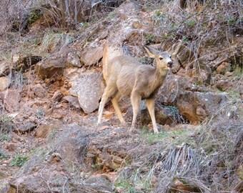 Mule Deer print