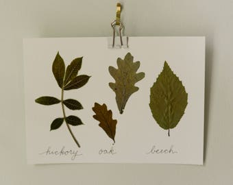 "Real pressed leaves | hickory, oak, beech | 5x7"" herbarium style botanical decor"