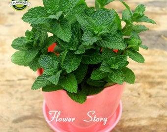 2 Spearmint Herb Live Plants