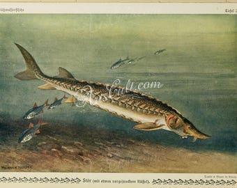 fishes-01191 - Sturgeon, Sterlet Sturgeon Acipenser ruthenus Heinrich Harder picture printable image high resolution graphics 300 dpi jpg