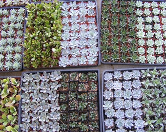 125 Assorted Succulent Plants 2 inch pot !! Great for wedding party favor