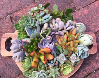 20 Succulent Cuttings