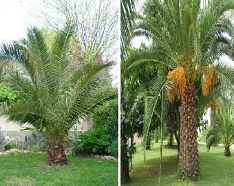 Phoenix canariensis (3 SEEDS) or Phoenix dactylifera Date Palm (15 SEEDS)