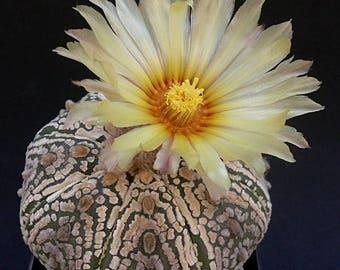 Astrophytum asterias Superkabuto / 10 seeds (Sand Dollar, Star Cactus, Sea Urchin, Star Peyote)