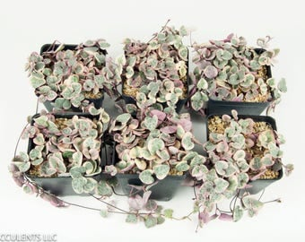Variegated String of Hearts Plant  VARIEGATED Ceropegia Woodii Growing in 3.5'' Square Nursery  Very Rare and  Exotic Live Plant