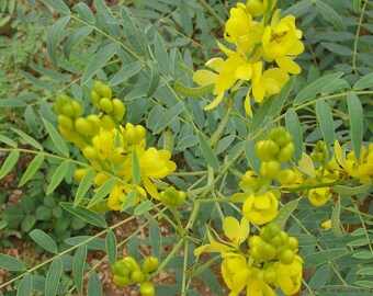 200  Seeds Cassia angustifolia ,Senna Seeds, Indian Senna, Cassia Senna