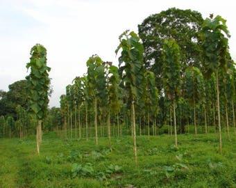 50 Seeds Tectona grandis. Teak Tree Seeds.Indian oak, teak tree, teak wood